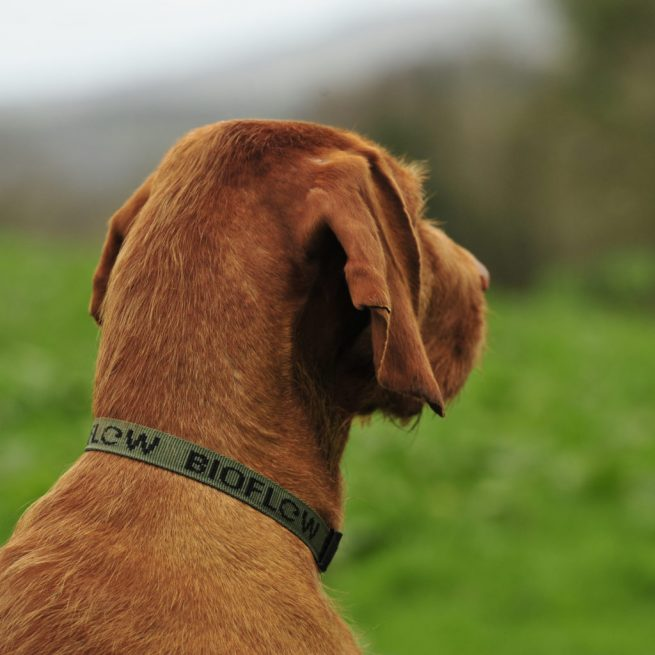 red dog wearing an olive bioflow dog collar