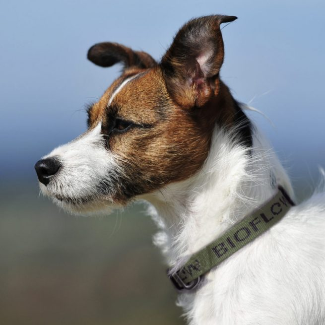 jack russell with an olive bioflow dog collar