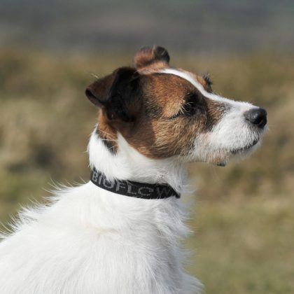 jack russell wearing a black dog collar