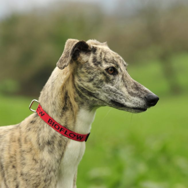 greyhound wearing a red bioflow dog collar