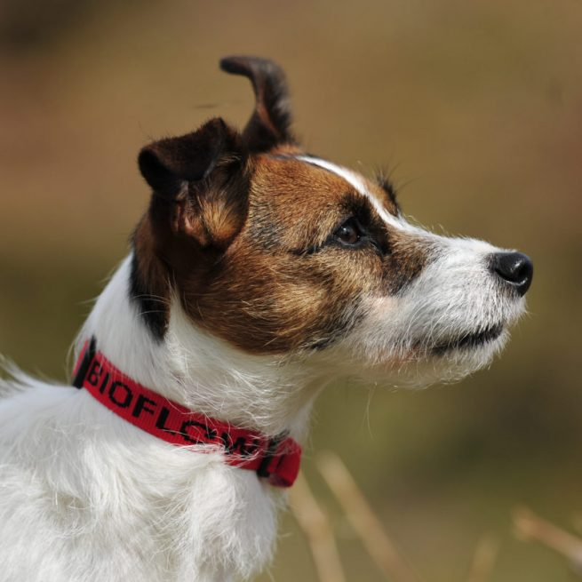 jack russell wearing a red bioflow dog collar
