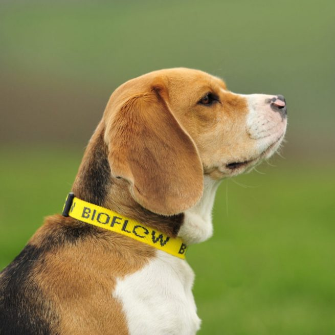 beagle dog wearing a yellow bioflow dog collar