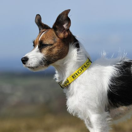 jack russell wearing a yellow dog collar