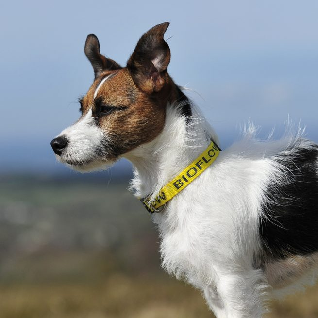 jack russell wearing a yellow bioflow dog collar
